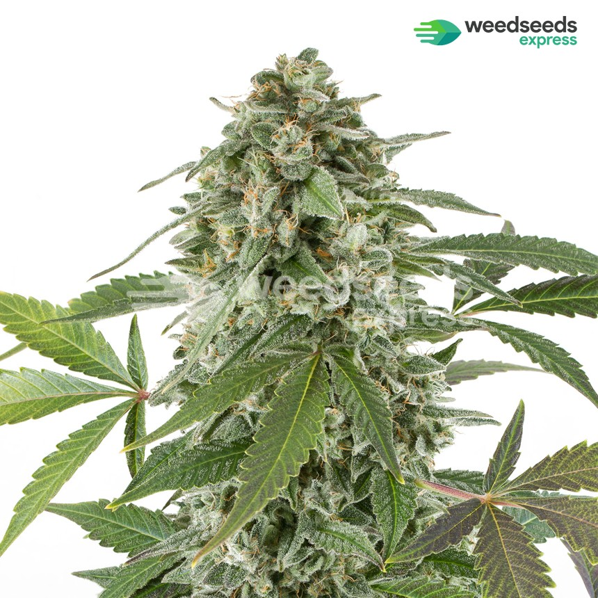 White Widow x Northern Lights feminized seeds plant