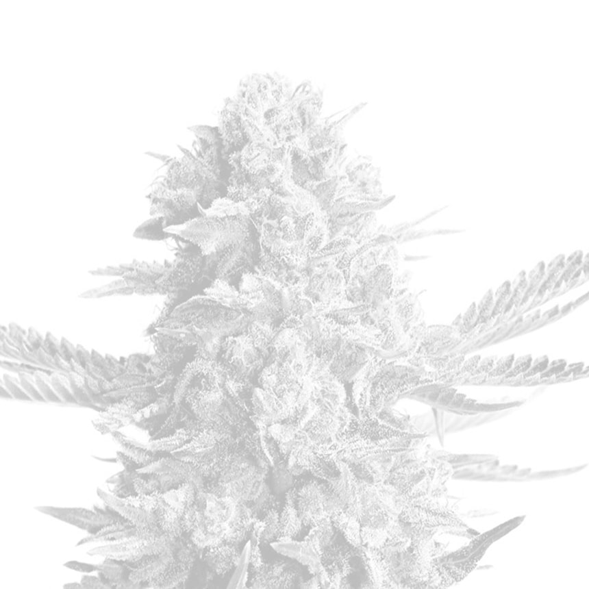 Big White Widow autoflowering feminized seeds