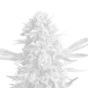 White Widow x Northern Lights feminized seeds
