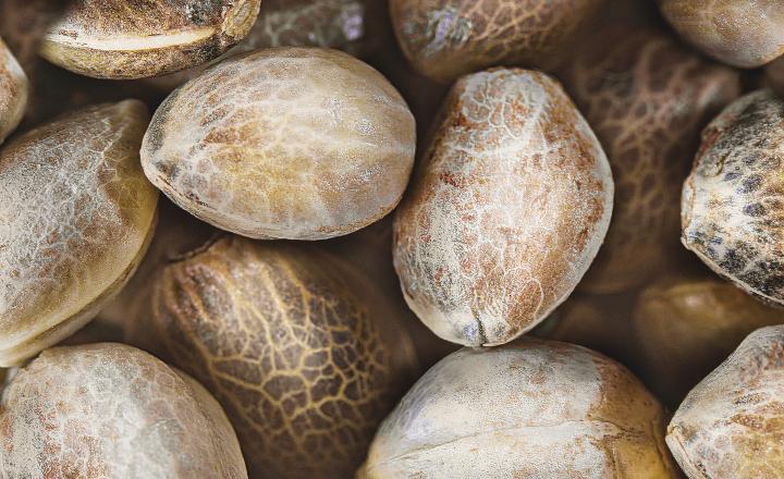 Autoflower zaden definitie en kenmerken