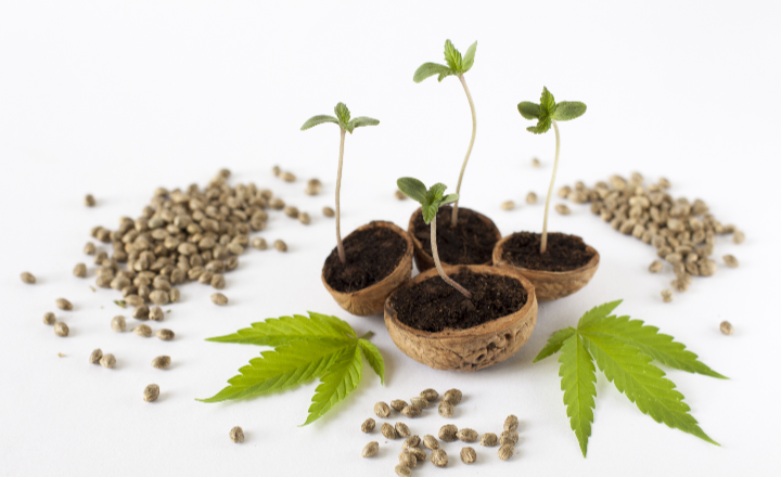 Wondering what the properties of feminized seeds are? Check it out!