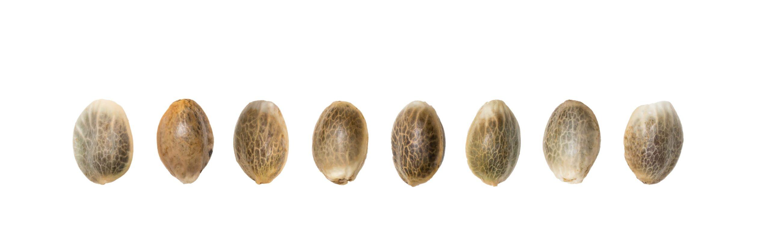 Bij Weedseedsexpress kun je veel verschillende soorten Cheese zaden kopen. Bekijk het assortiment
