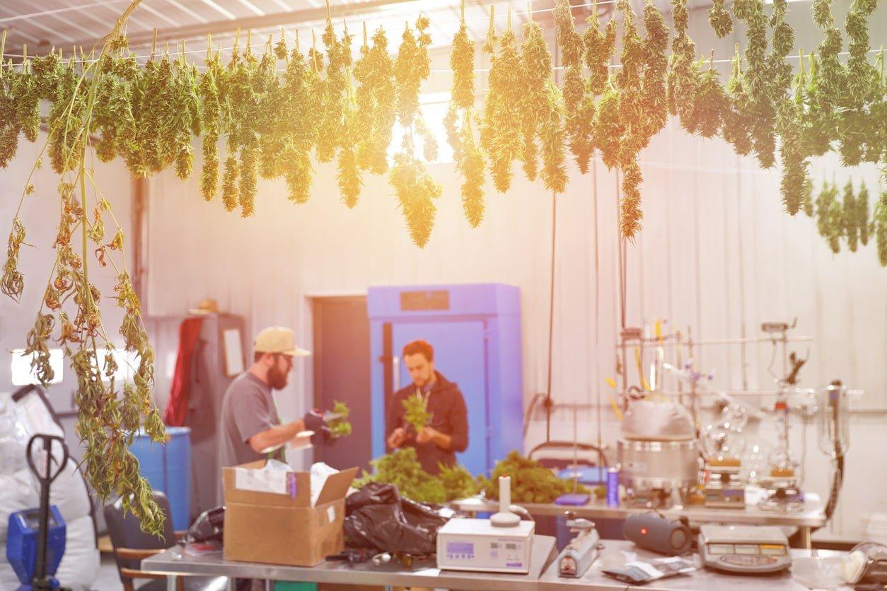 séchage du cannabis